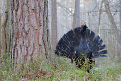 Capercaillie. Western capercaillie. Displaying male. Singing bird Royalty Free Stock Image