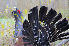 Capercaillie. Western capercaillie. Displaying male. Singing bird Stock Photos