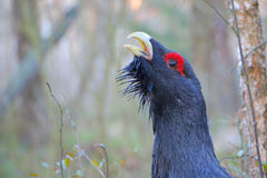 Capercaillie. Western capercaillie. Displaying male. Singing bird Royalty Free Stock Photo