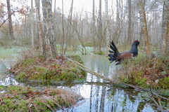 Capercaillie. Western capercaillie. Displaying male. Singing bird Stock Photo