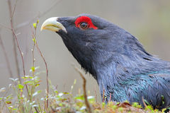 Capercaillie. Western capercaillie. Displaying male. Singing bird Stock Image