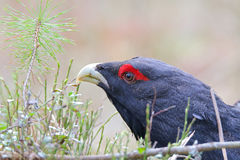 Capercaillie. Western capercaillie. Male in springtime Stock Photo
