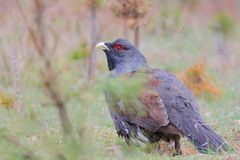 Capercaillie. Western capercaillie. Male in springtime Stock Photography