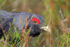 Capercaillie. Western capercaillie. Male in springtime Stock Image