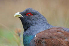 Capercaillie. Western capercaillie. Male in springtime Stock Photos
