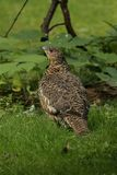 Capercaillie Royalty Free Stock Images