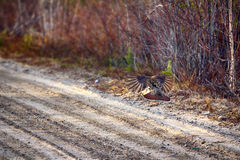 Capercailye Tetrao urogallus out on gravel road Royalty Free Stock Images