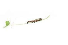 caperpillar rośliny boczny widok fotografia stock