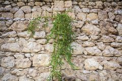 Capers grow to a stone wall. Stock Image