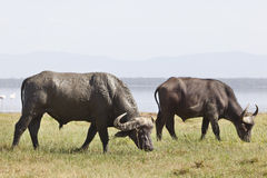 Capes Buffalo in Kenya Stock Photos