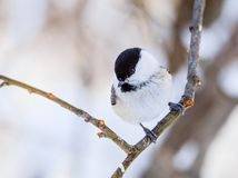 Capezzolo appollaiato su un albero gelido Località di soggiorno Belokurikha altai Fotografie Stock Libere da Diritti