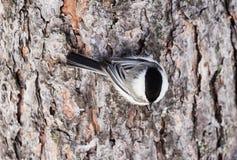 Capezzolo appollaiato su un albero gelido Località di soggiorno Belokurikha altai Fotografia Stock Libera da Diritti