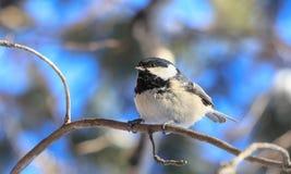 Capezzolo appollaiato su un albero gelido Località di soggiorno Belokurikha altai Immagini Stock Libere da Diritti