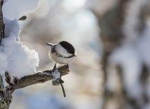 Capezzolo appollaiato su un albero gelido Località di soggiorno Belokurikha altai Fotografia Stock