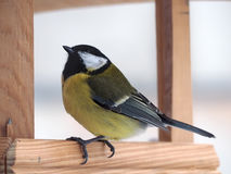 Capezzolo con piume gialle che si siedono all'alimentatore di legno e che guardano u Immagine Stock