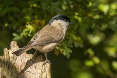 Capezzolo della palude, palustris di Poecile Un uccello canoro fotografia stock