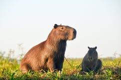 Capibara家庭 库存图片