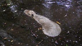 Capibara στο φυσικό περιβάλλον Στοκ Φωτογραφία