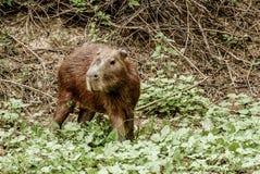 Capibara в боливийских джунглях Стоковые Изображения