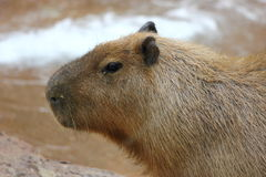 Capibara. Close up of the worlds largest rodent the capybara walking Royalty Free Stock Image