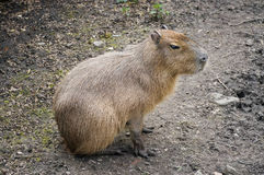 Capibara Photo stock