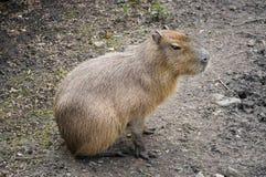 Capibara Stockfoto