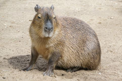 Capibara Photographie stock