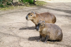 Capibara Photos stock