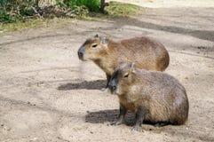 Capibara Stockfotos