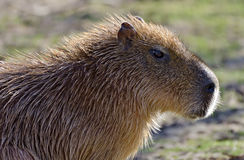Capibara στοκ φωτογραφίες με δικαίωμα ελεύθερης χρήσης