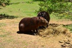 Capibara Photos stock