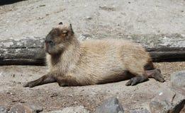Capibara image stock