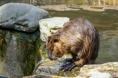 Capibara in acqua Immagini Stock Libere da Diritti