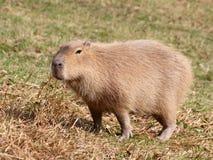 Capibara en pasto Imagen de archivo