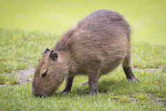 Capibara grazing Royalty Free Stock Photography