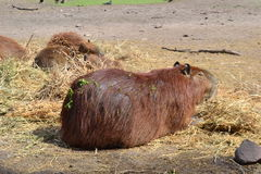 Capibara im Lecoq-Park Lizenzfreies Stockbild