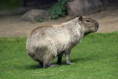 Capibara In Moscow Zoo. Royalty Free Stock Images