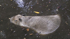 Capibara in natural environment Royalty Free Stock Photo