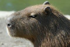Capibara Royalty Free Stock Image