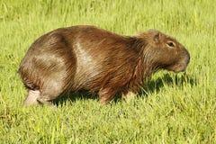 Capibara que pasta em pântanos de Ibera Foto de Stock Royalty Free