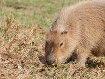 Capibara sur le pâturage Photographie stock libre de droits