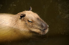 Capibara swimming Stock Photos