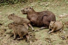 Capibaras в боливийских джунглях Стоковое Изображение RF