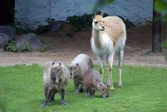 Capibaras nello zoo di Mosca Immagine Stock