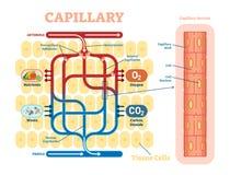 Capillair schematisch, anatomisch vectorillustratiediagram met bloedstroom royalty-vrije illustratie