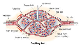 Capillary bed labeled Royalty Free Stock Photo