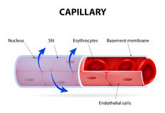Capillary. blood vessel. labelled
