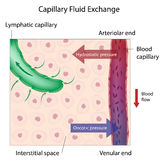Capillary Fluid Exchange. Mechanism of capillary fluid exchange between the blood and body tissues, eps10 Stock Photography