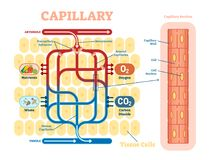 Capillary schematic, anatomical vector illustration diagram with blood flow. Educational information poster Stock Image