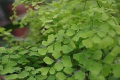 Capilliaire verde Fotos de Stock Royalty Free
